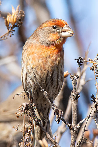 Post your birds (2)-housefinch-448.jpg