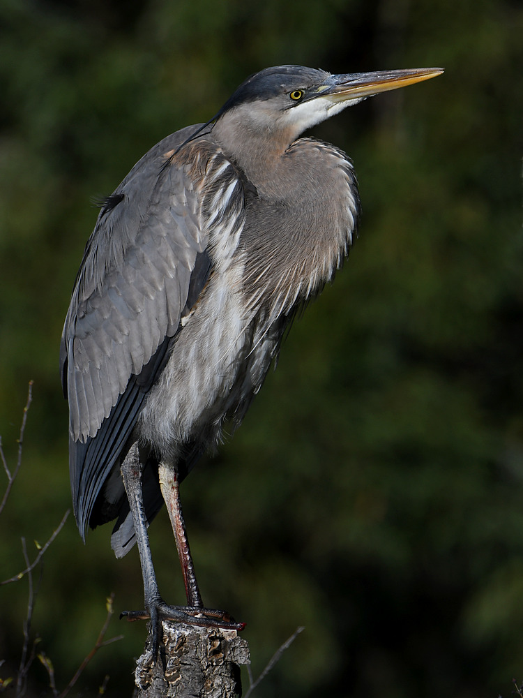 Post your birds (2)-blueheron5.jpg