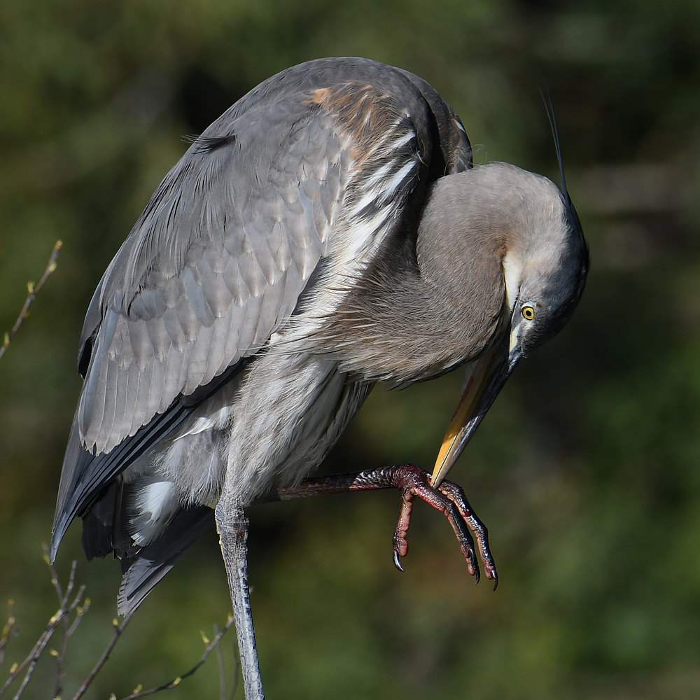 Post your birds (2)-blueheron8.jpg
