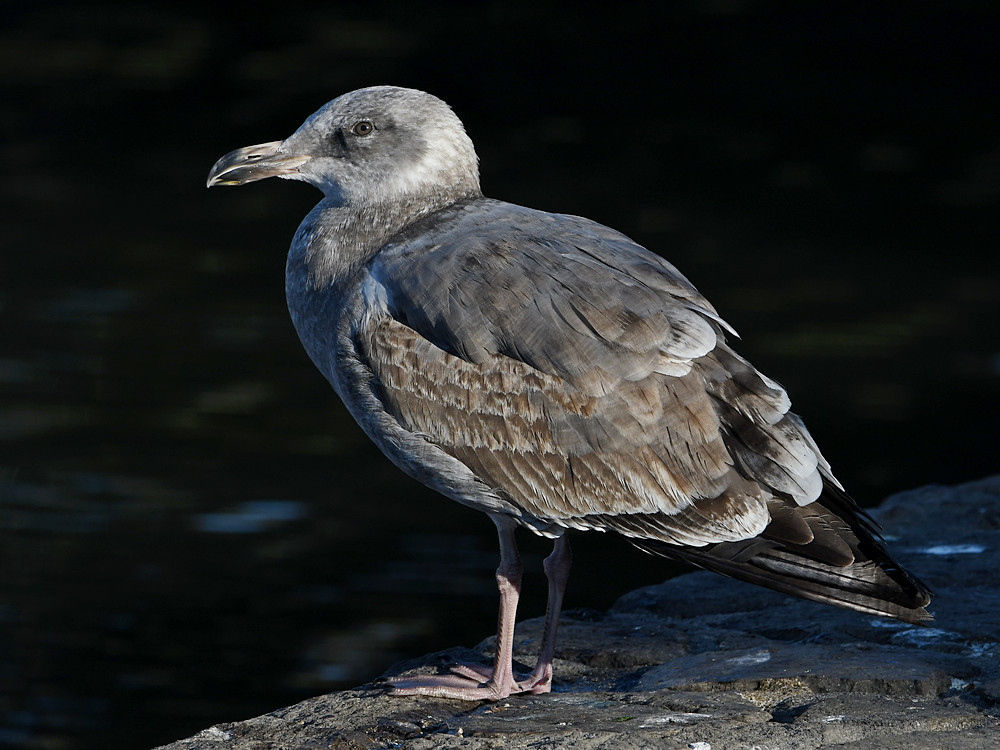 Post your birds (2)-gull.jpg