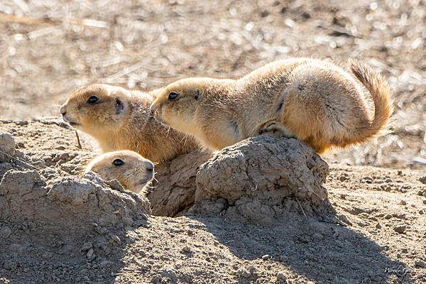 Post your Mammals-p-dogs-456.jpg