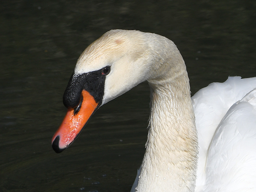 Post your birds (2)-swan4.jpg