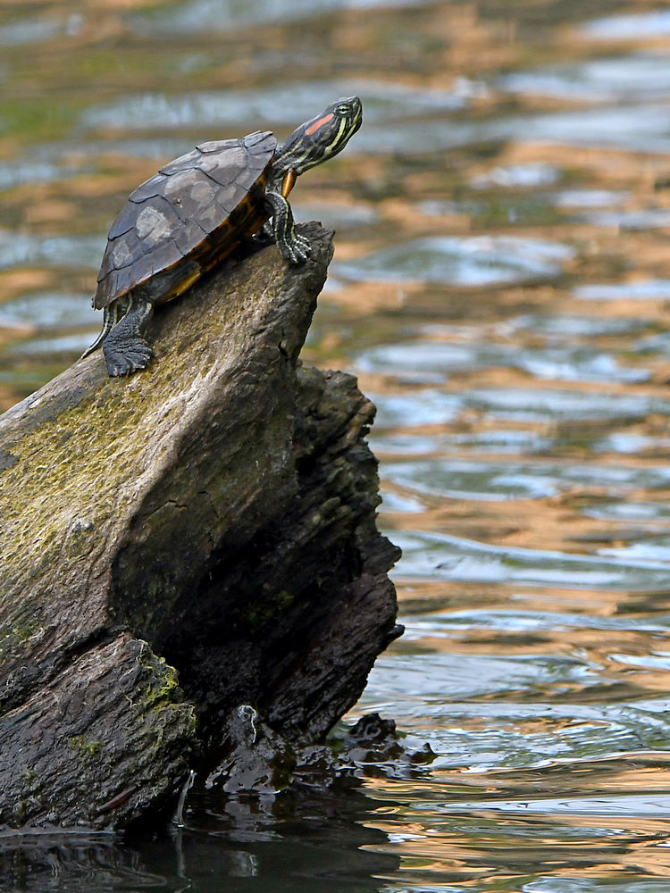 Let's see some reptiles...-turtle.jpg
