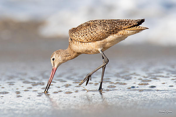 Post your birds (2)-marbledgodwit-410.jpg