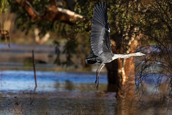 Post your Birds in Flight-stork-take-off-.jpg