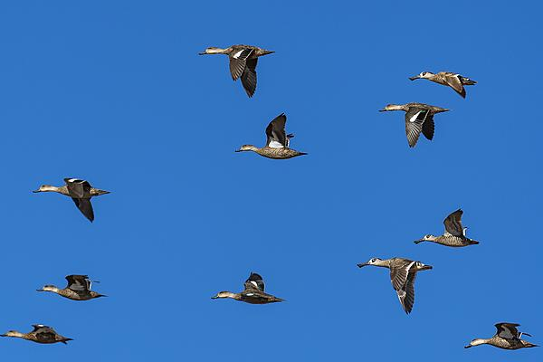 The Duck Thread-flying-ducks-take-2.jpg