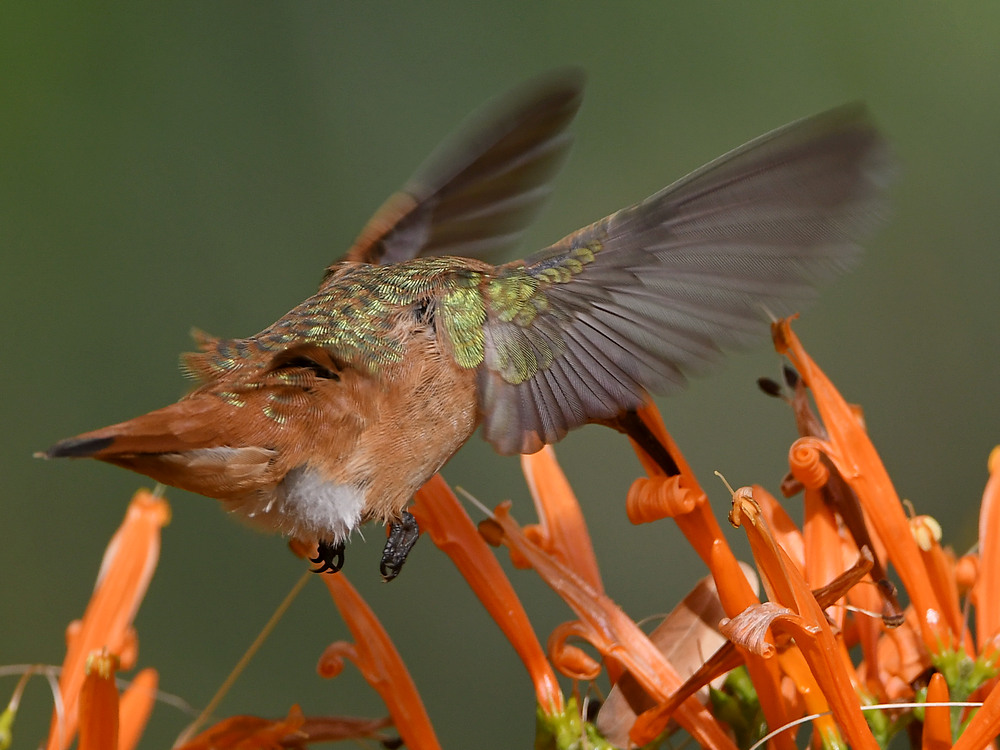 Post your Birds in Flight-hummer14.jpg