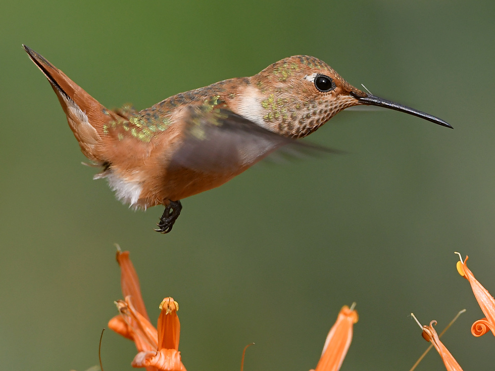 Post your Birds in Flight-hummer16.jpg
