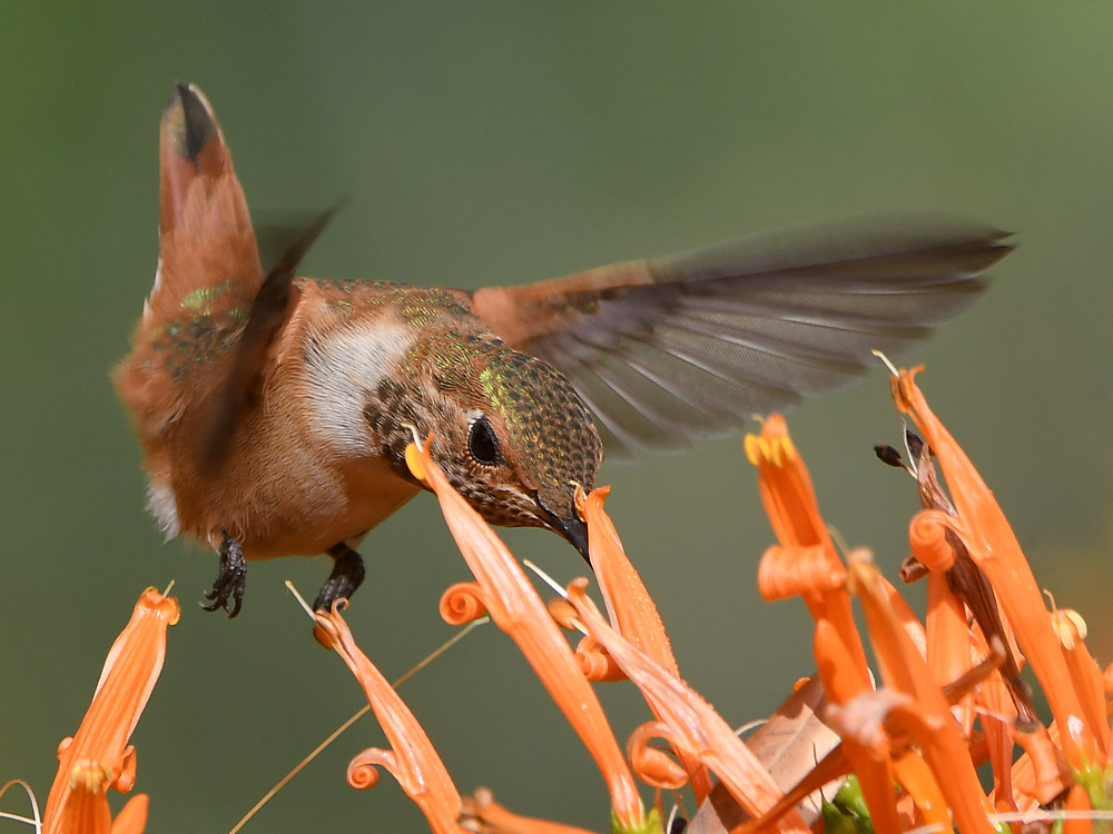 Post your Birds in Flight-hummer17.jpg