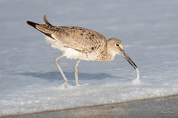 Post your birds (2)-willet-430.jpg