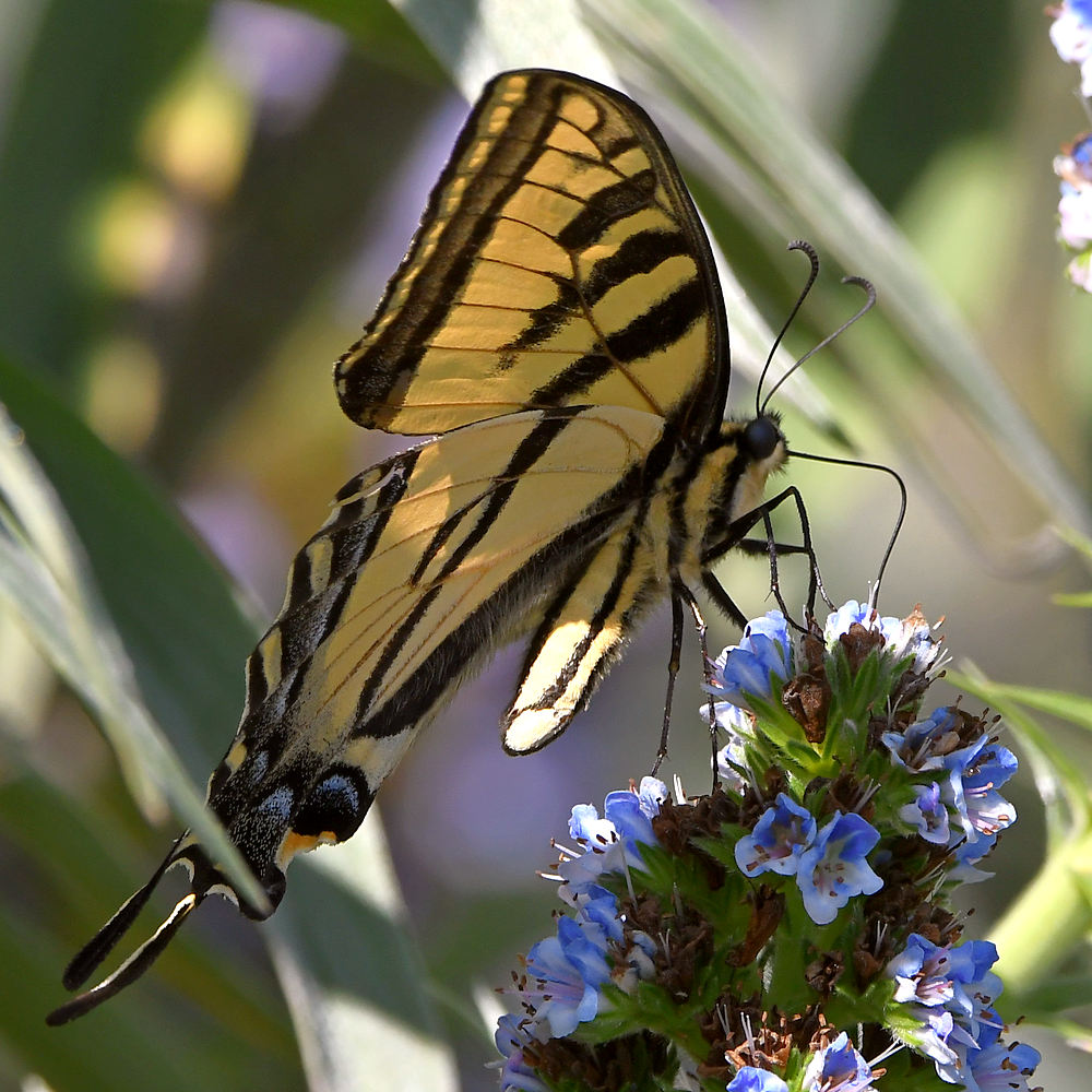 Post your Moths & Butterflies-swallowtail3.jpg