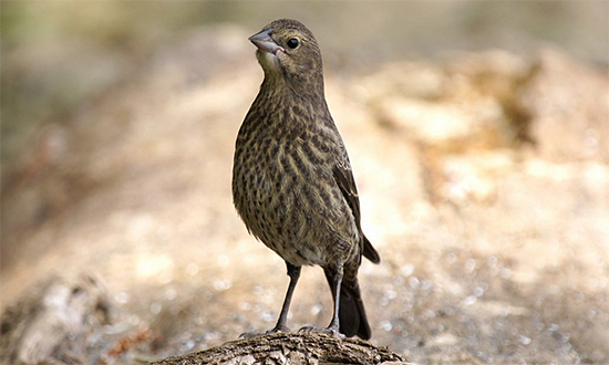 Can you help ID this bird please?-bhcowbird-flipkeat.jpg