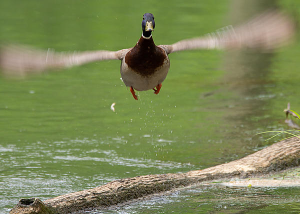 Post your Birds in Flight-lake-cumberland-weekend-9057.jpg
