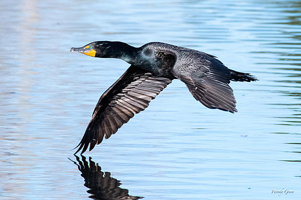 Post your Birds in Flight-cormorantflight-450.jpg