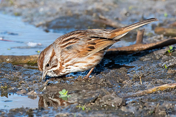 Post your birds (2)-songsparrow-410.jpg