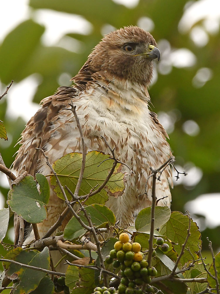 Post your birds (2)-hawk2.jpg