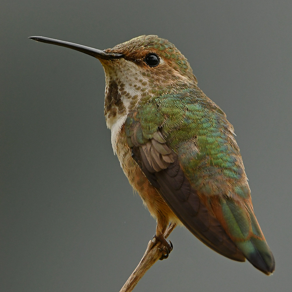 Post your birds (2)-hummer16.jpg