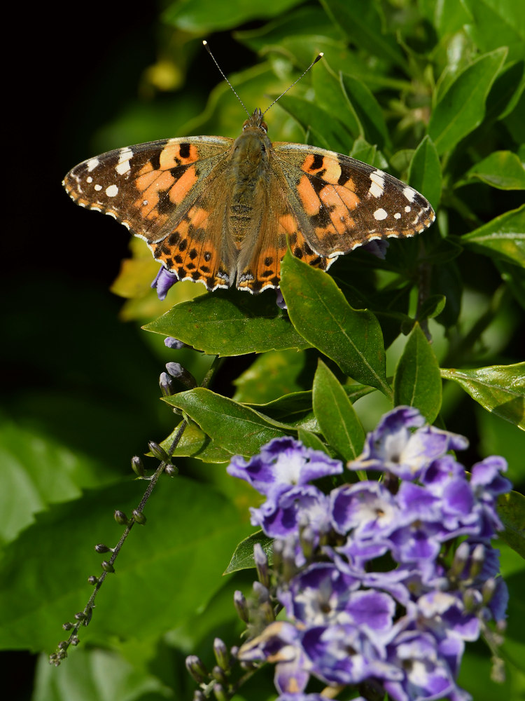 Post your Moths & Butterflies-paintedlady3.jpg