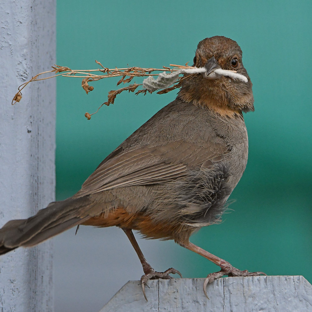Post your birds (2)-towhee5.jpg