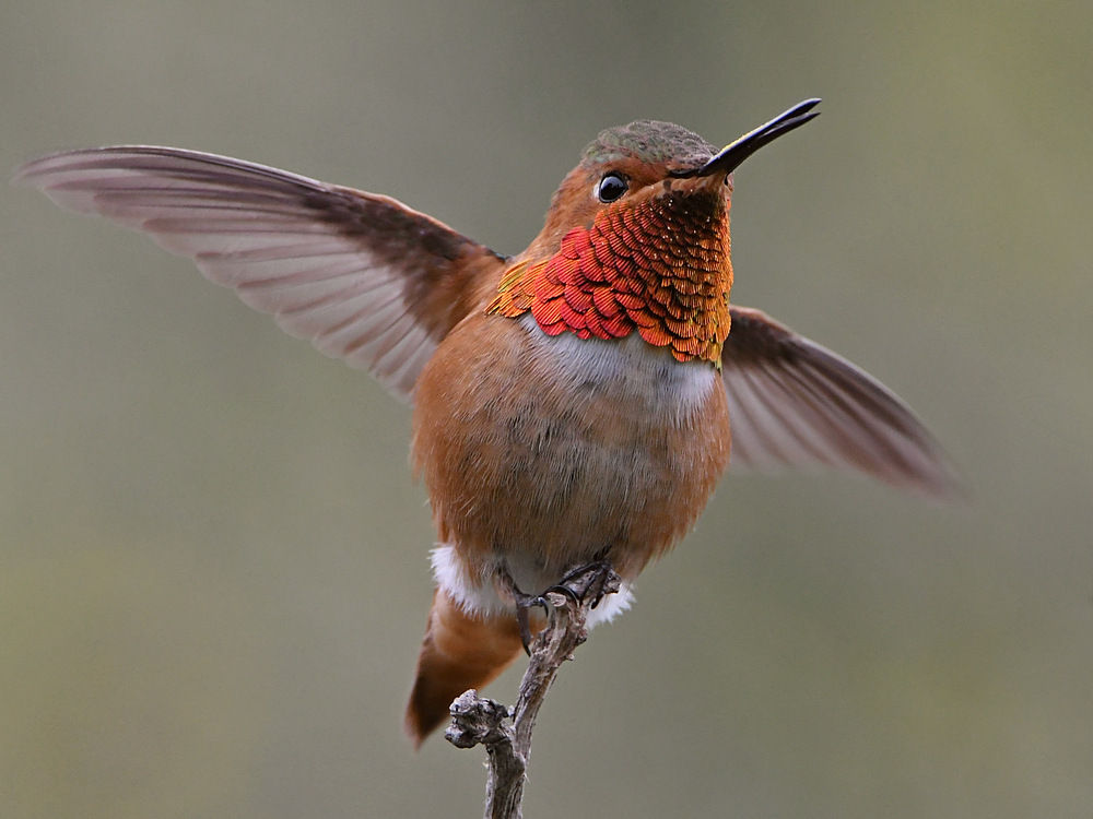 Post your birds (2)-hummer20.jpg