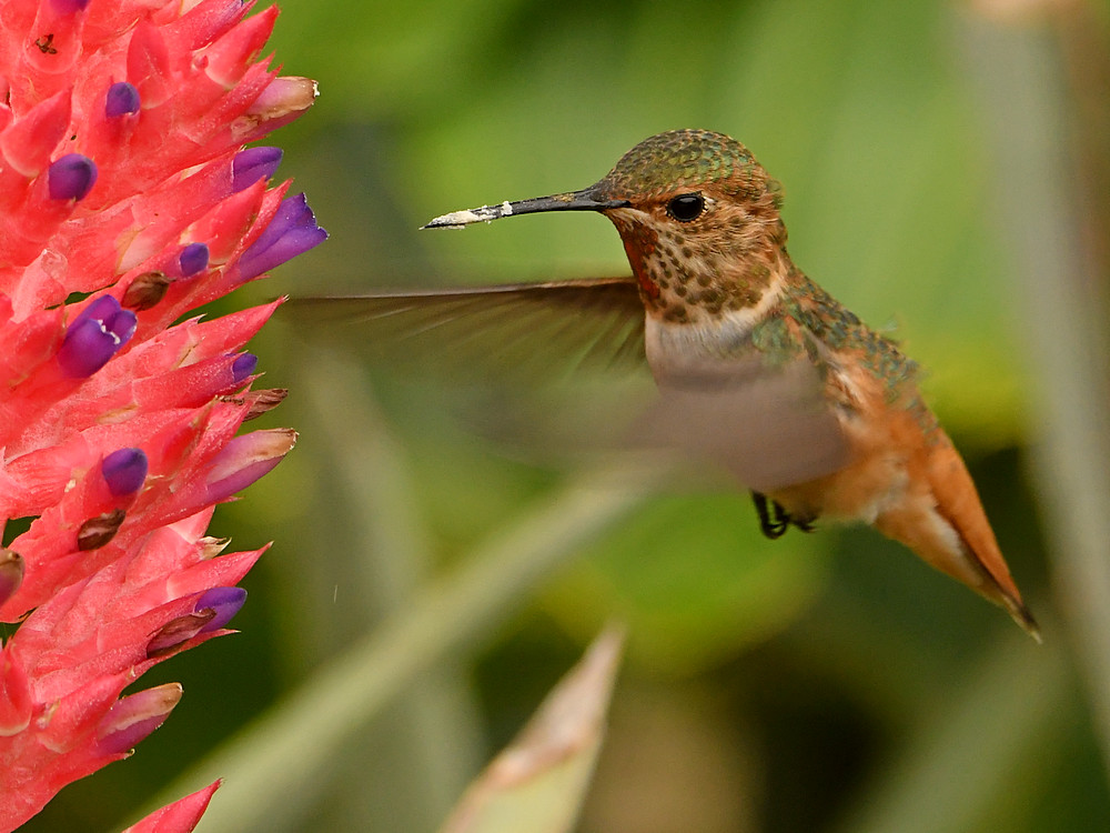 Post your Birds in Flight-hummer7.jpg