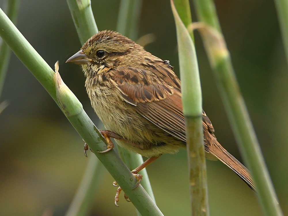 Post your birds (2)-sparrow2.jpg