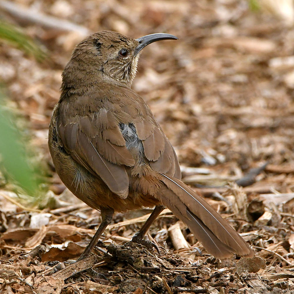 Post your birds (2)-thrasher.jpg