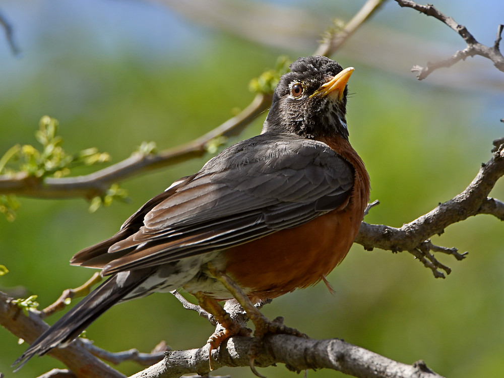 Post your birds (2)-robin.jpg
