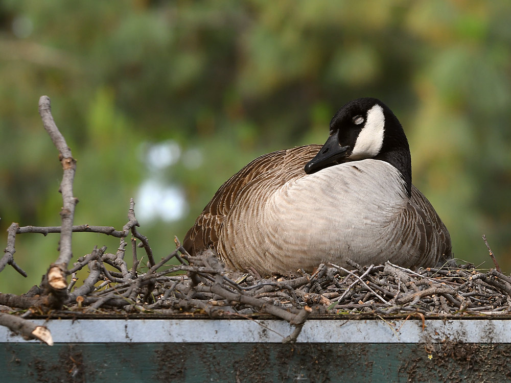 Post your birds (2)-goose.jpg