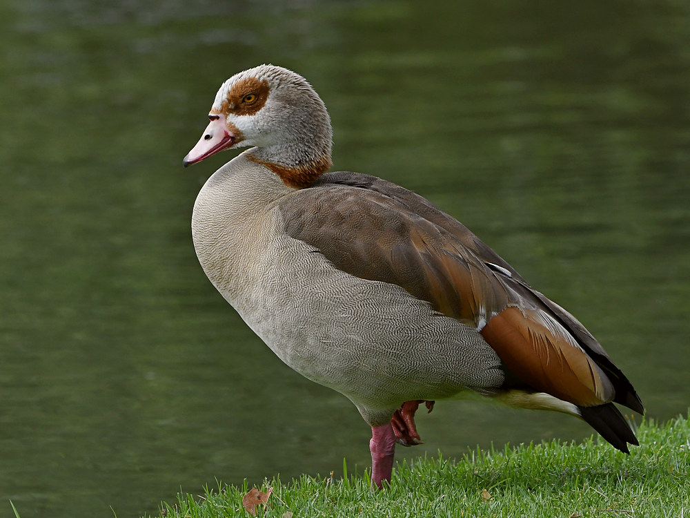 Post your birds (2)-egyptiangoose.jpg