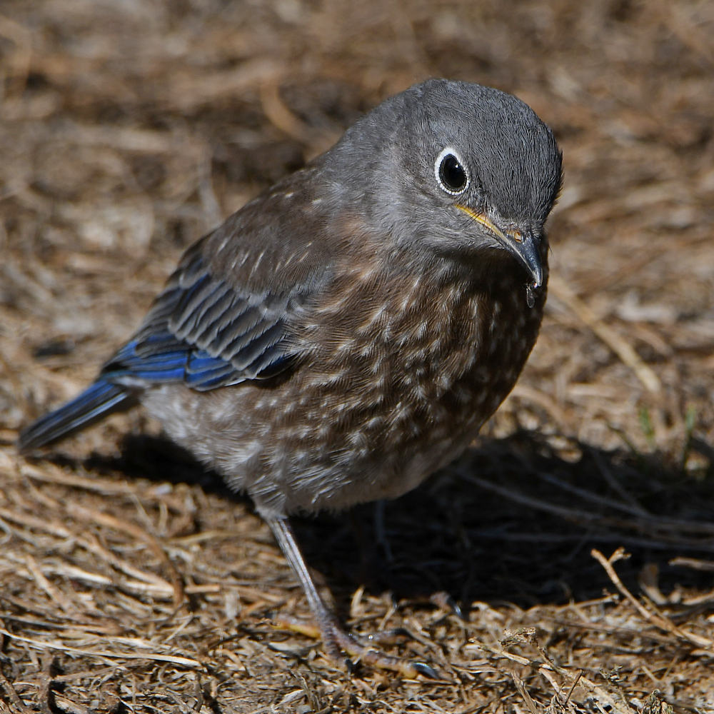 Post your birds (2)-bluebird10.jpg