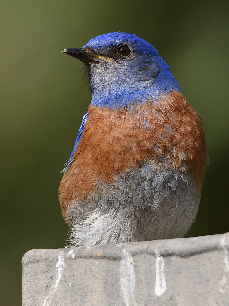 Post your birds (2)-bluebird14.jpg