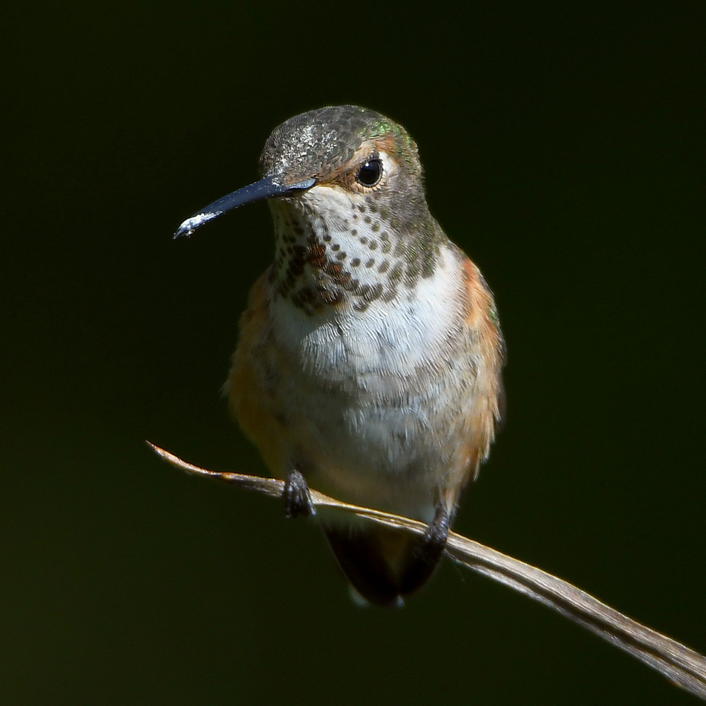 Post your birds (2)-hummer17.jpg