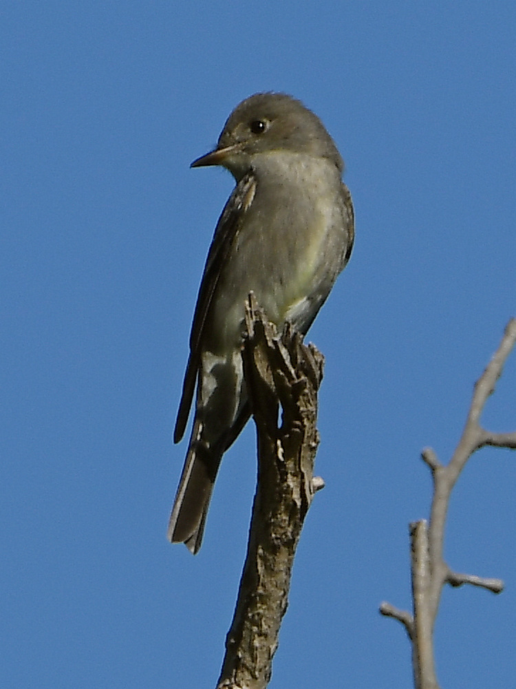 Can you help ID this bird please?-flycatcher.jpg