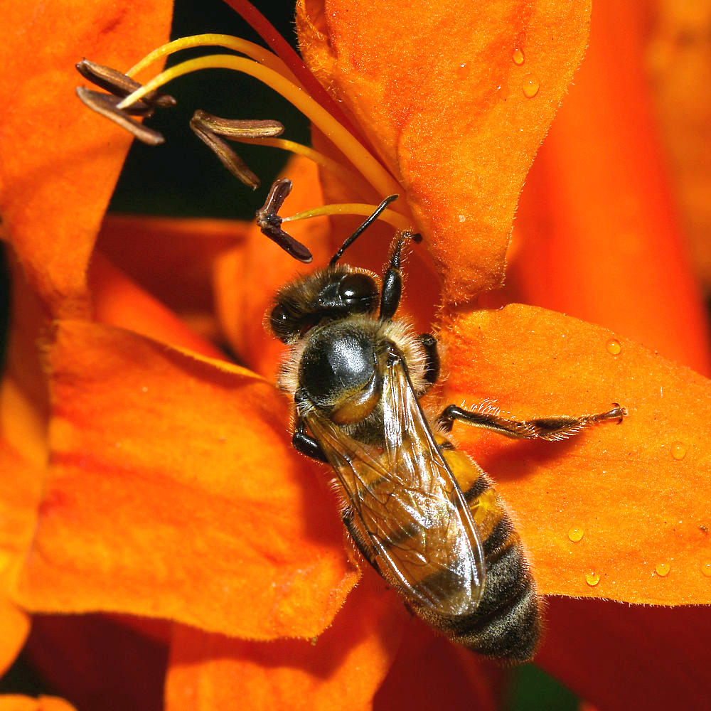 dragonflies and bees/wasps-bee6.jpg