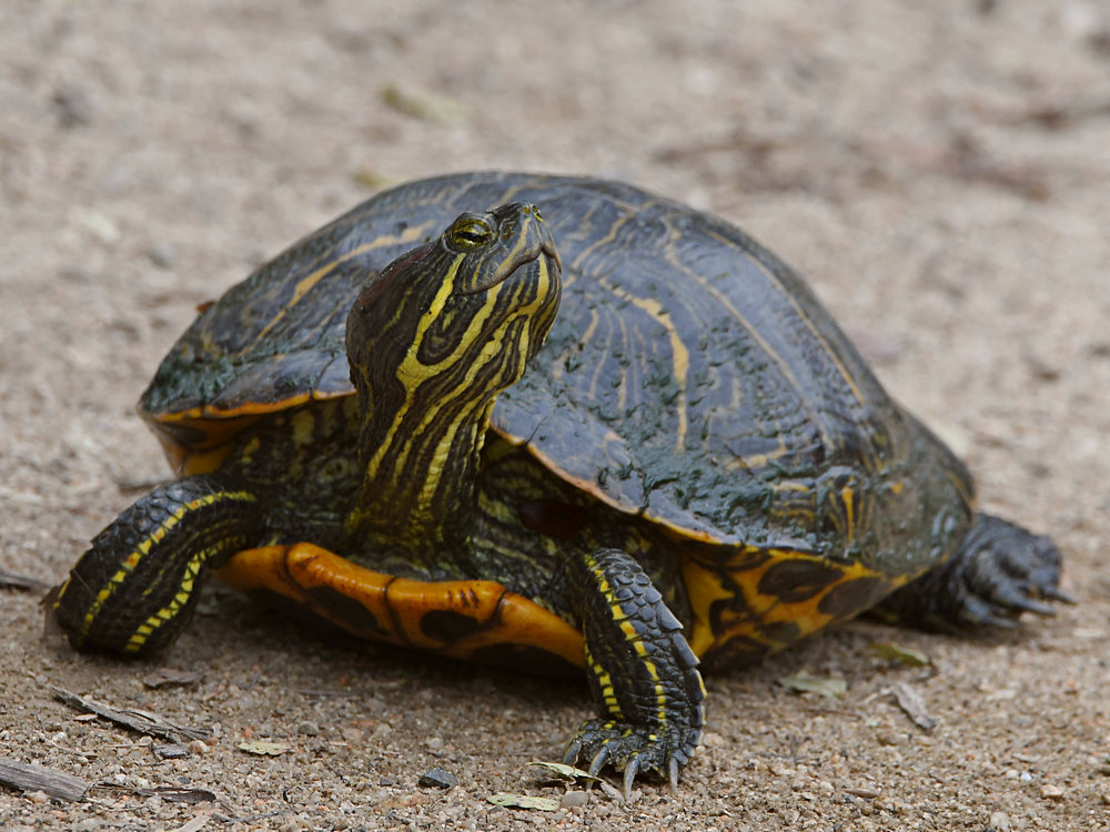 Let's see some reptiles...-turtle2.jpg