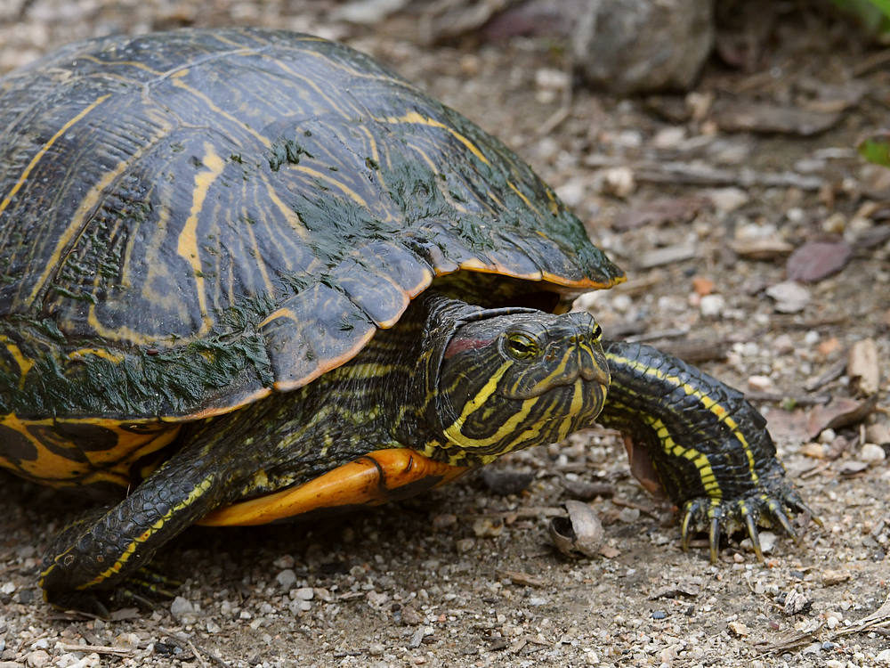 Let's see some reptiles...-turtle4.jpg