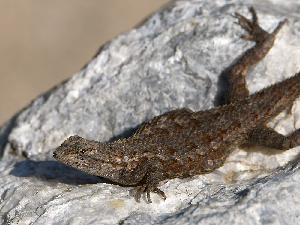 Let's see some reptiles...-lizard5.jpg