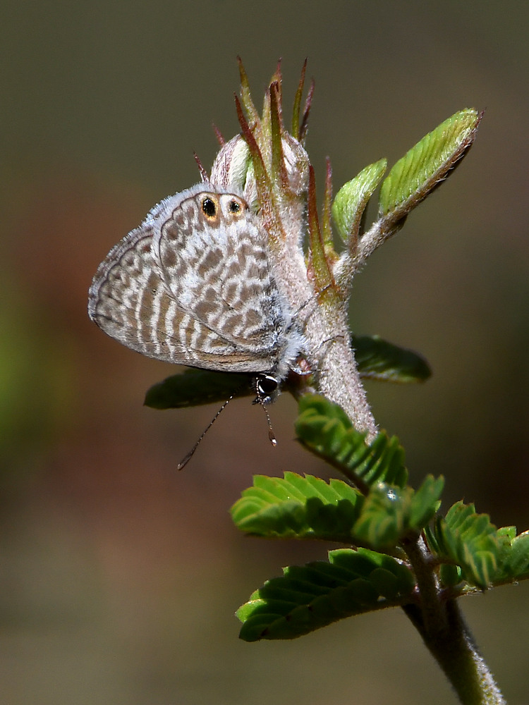 Post your Moths & Butterflies-hairstreak.jpg