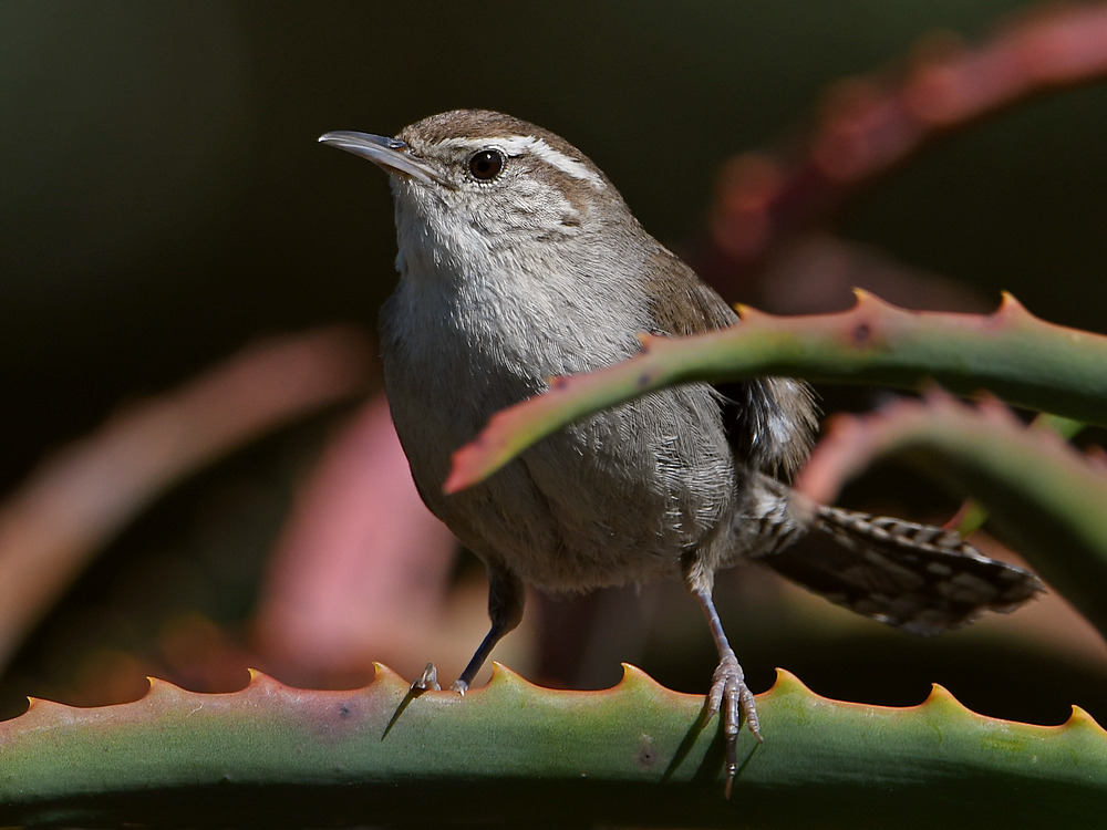 Post your birds (2)-wren2.jpg