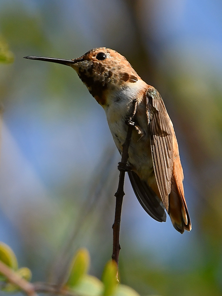 Post your birds (2)-hummer.jpg