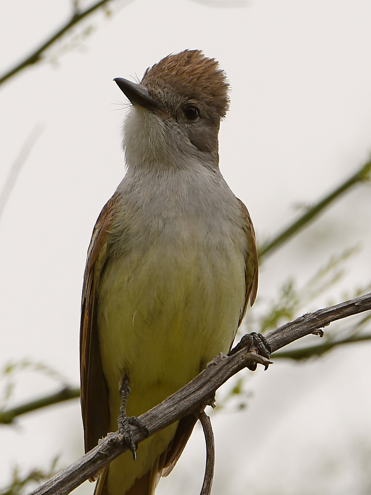 Post your birds (2)-flycatcher2.jpg