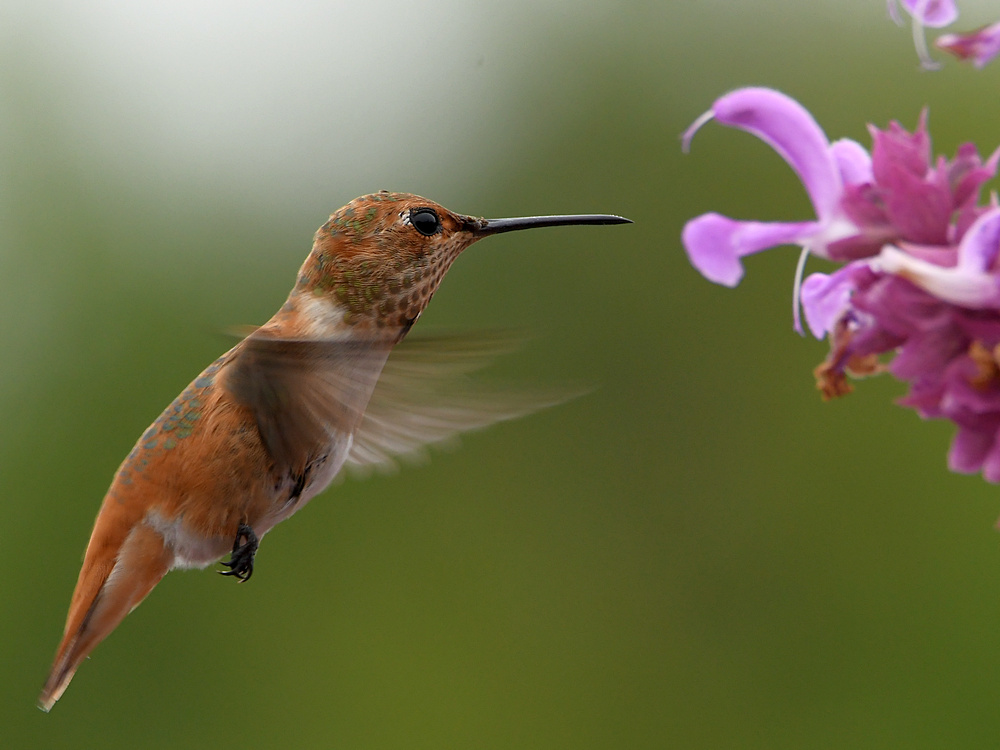 Post your Birds in Flight-hummer12.jpg