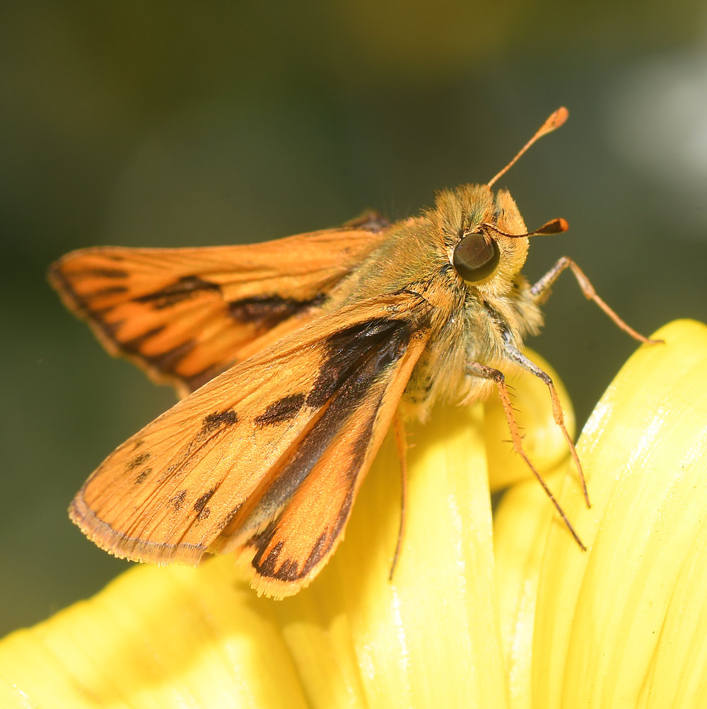 Post your Moths & Butterflies-skipper.jpg