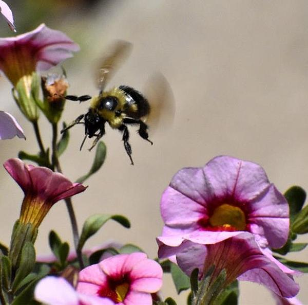 dragonflies and bees/wasps-incoming-bee-small.jpg