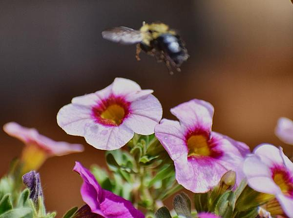 dragonflies and bees/wasps-incoming-missed-focus-small.jpg