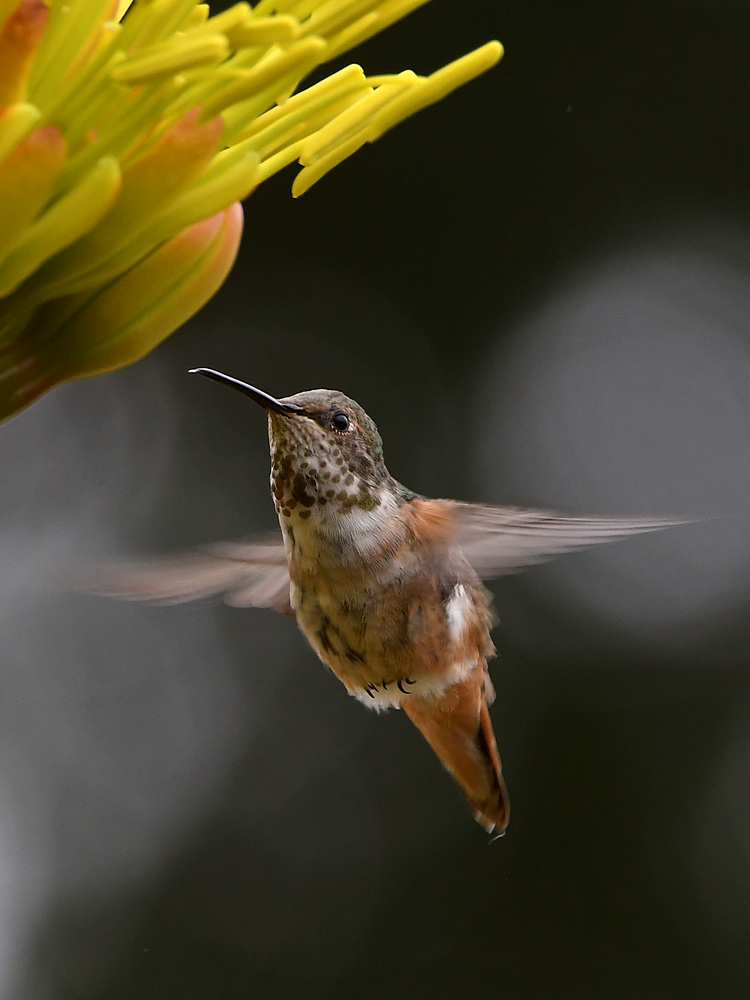 Post your Birds in Flight-hummer5.jpg