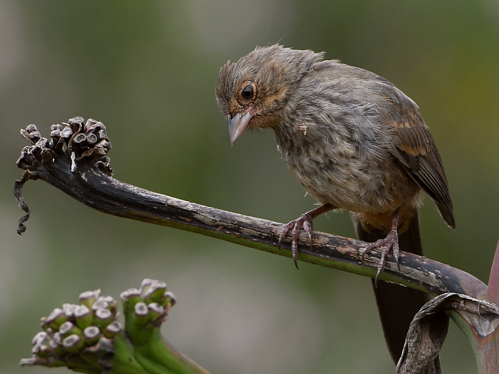 Post your birds (2)-towhee.jpg