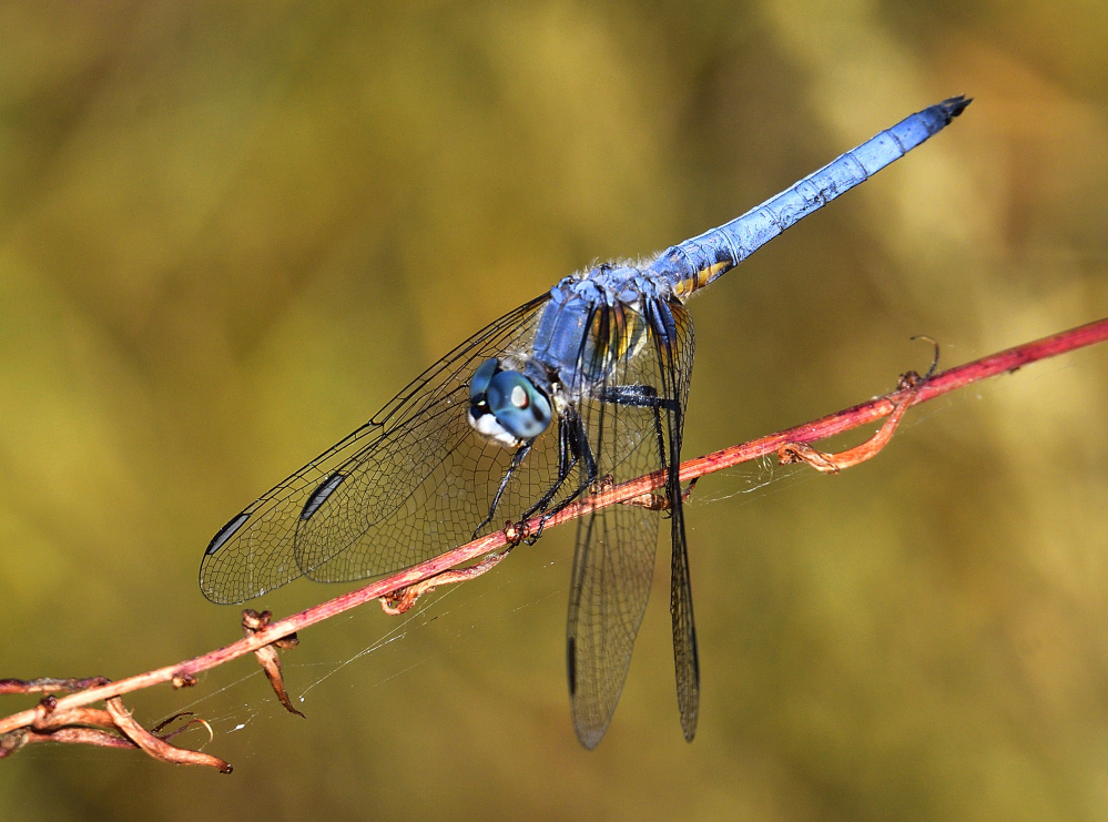 dragonflies and bees/wasps-_roy5690.jpg