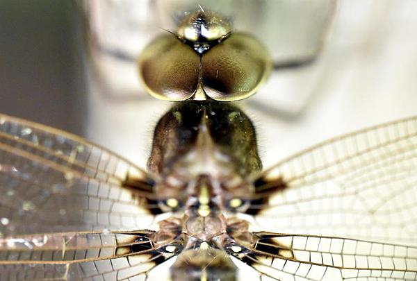 dragonflies and bees/wasps-dragonfly-top-small.jpg